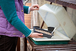 Sowing begonia seeds and putting them in a heated propagator