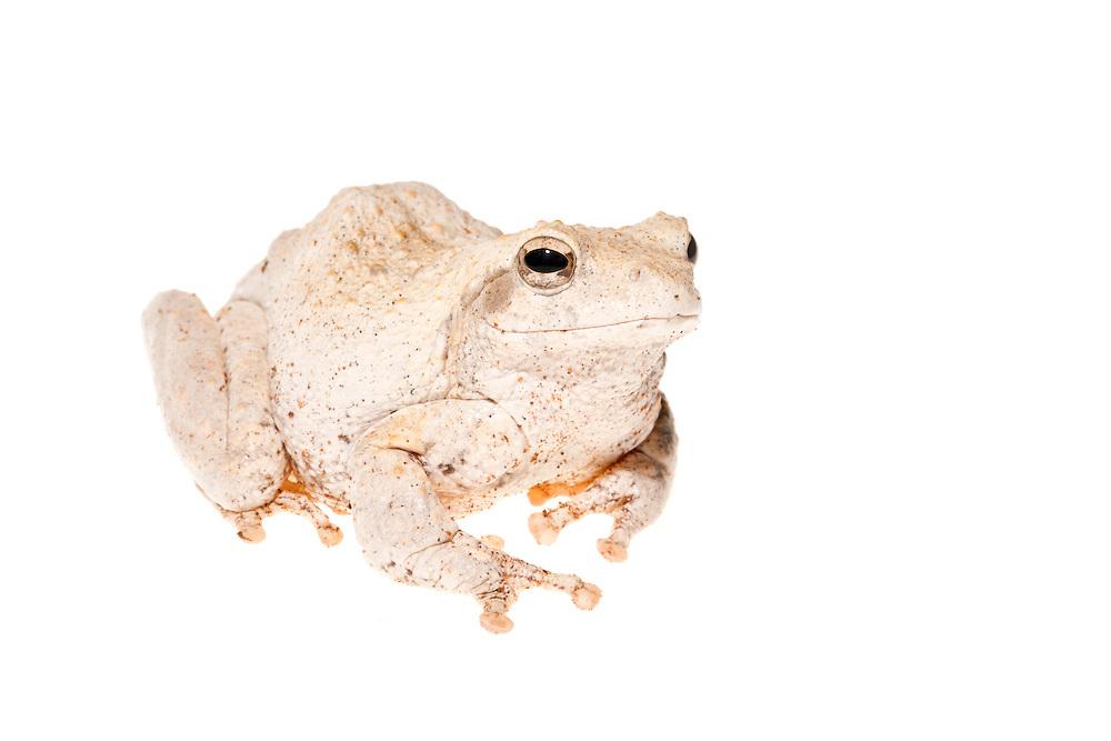 Studio portrait of a grey foam-nest tree frog or southern foam-nest tree frog (Chiromantis xerampelina)on a white background.