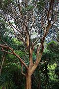Guava tree, Limahuli Garden and Preserve, Haena, Kauai, Hawaii