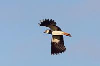 Lapwing (Vanellus vanellus)<br /> , Texel, the Netherlands