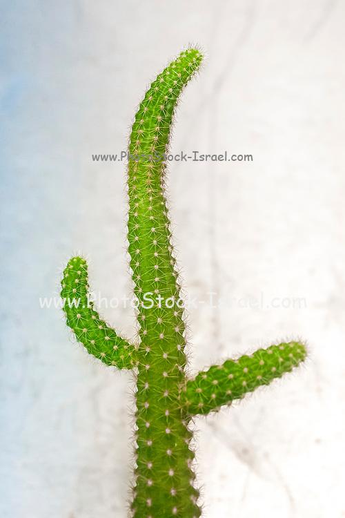Thorny cactus on white background. Peanut Cactus (Echinopsis chamaecereus)