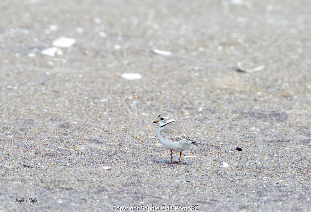 Piping Plover Returns to Jacob Riis Beach