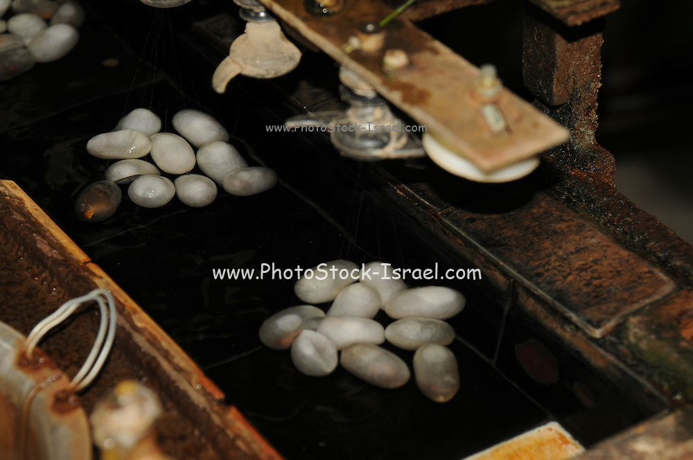 China, Shanghai Silk factory visitor Center inspecting cocoons