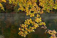 Maple (Acer pseudoplatanus) leaves and water, Proscansko lake, Upper Lakes, Plitvice National Park, Croatia