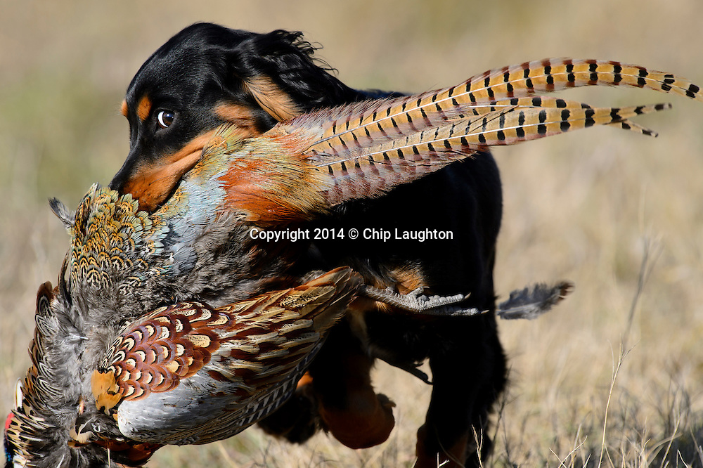 english cocker spaniel pheasant hunting stock image photo photography