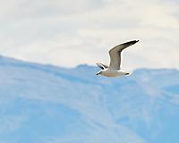 Kelp Gull (Larus dominicanus). Estancia Helsingfors, Argentina. Image taken with a Nikon D3x camera and 70-300 mm VR lens.