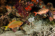 Double-lined Fusilier (Pterocaesio digramma) & Yellowtail fusilier (Caesio cuning) adults, in night colours<br /> Raja Ampat<br /> West Papua<br /> Indonesia