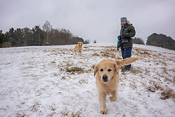 © Licensed to London News Pictures. 08/02/2021. Surrey, UK. A dog walker enjoys the blizzard like snow conditions on top of Box Hill in Surrey this morning as Storm Darcy hits the South East with yet more snow and freezing temperatures today. The Met Office have issue numerous weather warnings for heavy snow and ice with disruption to travel, power cuts and possible stranded vehicles as the bad weather continues.  Photo credit: Alex Lentati/LNP