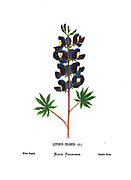 Blue lupin (Lupinus pilosus) From the book Wild flowers of the Holy Land: Fifty-Four Plates Printed In Colours, Drawn And Painted After Nature. by Mrs. Hannah Zeller, (Gobat); Tristram, H. B. (Henry Baker), and Edward Atkinson, Published in London by James Nisbet & Co 1876 on white background