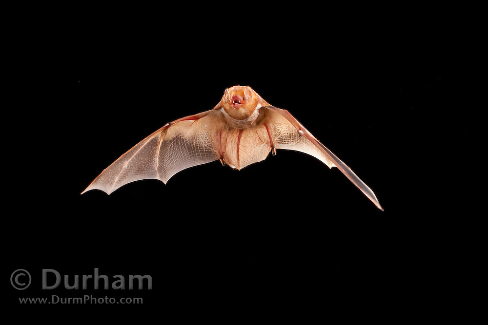 Juvenile male eastern red bat (Lasiurus borealis), Photographed near the Conasauga River in the Chattahoochee National Forest, Georgia.