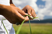 Austin Silva, a high school biology intern at the Valles Caldera National Preserve, New Mexico, braids grass during a lunch break..
