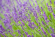 Imperial Gem lavender,Snowshill, Worcestershire, United Kingdom The Cotswolds