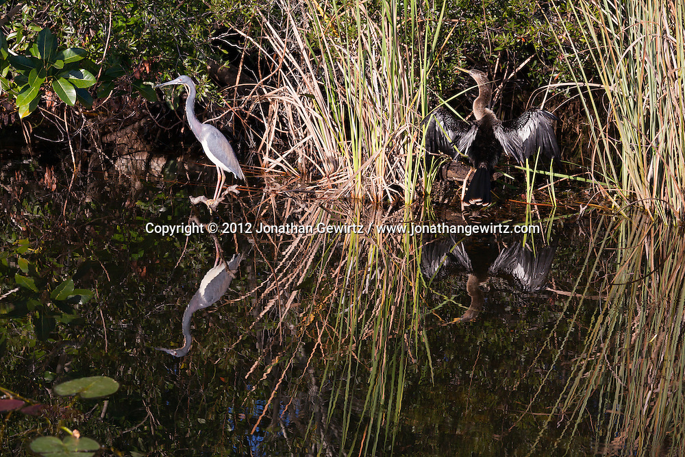 A Tricolored Heron (Egretta tricolor) and Anhinga (Anhinga anhinga) on the side of a canal in the Shark Valley section of Everglades National Park, Florida. WATERMARKS WILL NOT APPEAR ON PRINTS OR LICENSED IMAGES.