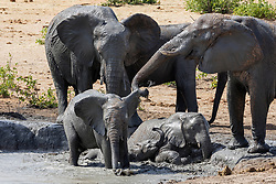 Elephants playing in waterhole at Etosha National Park, Namibia, Africa