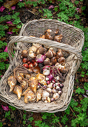 A basket full of mixed bulbs ready to plant out. Includes tulips, narcissi, eremurus, scillas, alliums and hyacinths.