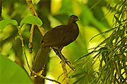 Costa Rica, Black Guan, Arenal Volcano Cloud Forest area