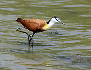 African jacana (Actophilornis africanus) is a wader in the family Jacanidae, identifiable by long toes and long claws that enable them to walk on floating vegetation in shallow lakes, their preferred habitat. Jacanas are found worldwide within the tropical zone, and this species is found in sub-saharan Africa. Photographed in Ethiopia