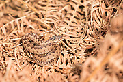 Adder (Vipera berus) juvenile basking on dead bracken. Sussex, UK.
