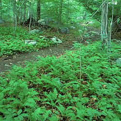Ferns cover the forest floor at the Treetops Estate.  Purchased by the TPL for the Greenwich Land Trust and the State of CT in 2001.  Greenwich, CT