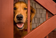 A golden retriever looks through the opening on the railing of a coastal North Carolina home