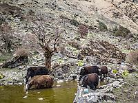 Yaks drinking at a waterhole on the way from Bayli Kharka to Khopra Ridge, Nepal.