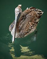 Brown Pelican (Pelecanus occidentalis). Fisherman's Warf, San Francisco, California. Image taken with a Nikon D300 camera and 18-200 mm VR lens.
