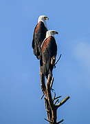 African fish eagle (Haliaeetus vocifer) perched on a tree stump This bird is found in sub-Saharan Africa near water. The female, the larger of the sexes, has a wingspan of up to 230 centimetres. The African fish eagle spends most of the day perching in a high tree near water. From this perch it will swoop down on fish, catching them with its feet. Although the majority of its diet consists of fish, the African fish eagle also feeds on flamingos and other water birds, as well as carrion. Photographed at Lake Naivasha, Kenya