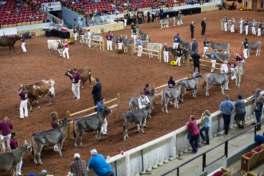 Competitors in the International Brown Swiss cow showing enter the arena during the the World Dairy Expo in Madison, Wisconsin, U.S., October 3, 2018.  REUTERS/Ben Brewer