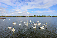 Swans, Hayground Cove, Mecox Bay,  Water Mill, Long Island, NY