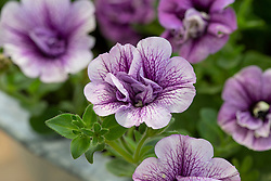 Petunia 'Tumbelina Priscilla' - Tumbelina Series