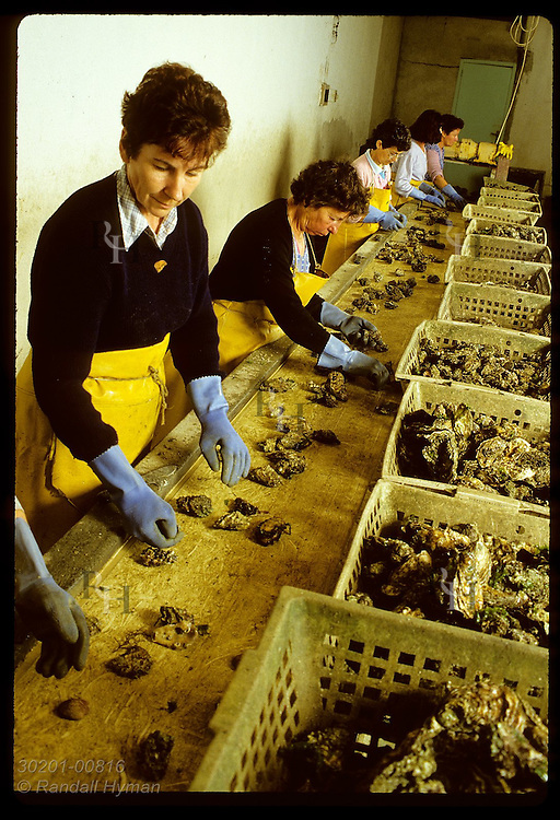 Women stand at conveyor belt in Claude Frick's processing sta. to sort Japanese oystrs for size France