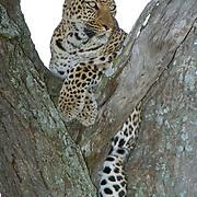 Leopard (Panthera pardus) Resting in tree. Masai Mara National Park. Kenya. Africa. Febuary.