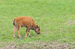 Bizon, buffalo, American bison, Bison bison