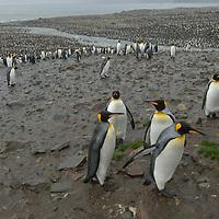 Hundreds of thousands of King Penguins crowd a rookery at Saint Andrews Bay, South Georgia, Antarctica.