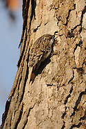 This is a brown creeper crawling around in an oak tree in upstate NY.