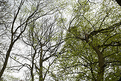 Wendover, UK. 28th April, 2021. A section of ancient woodland at Jones Hill Wood in the Chilterns AONB. Felling of Jones Hill Wood, which contains resting places and/or breeding sites for pipistrelle, barbastelle, noctule, brown long-eared and natterer's bats and is said to have inspired Roald Dahl's Fantastic Mr Fox, has resumed after a High Court judge refused environmental campaigner Mark Keir permission to apply for judicial review and lifted an injunction preventing further felling for the HS2 high-speed rail link.