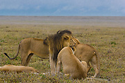 Male lion, kickass defender of a pride, Serengeti National Park, Tanzania. Head rubbing greeting with female.