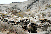 Brown hyena (Parahyaena brunnea oder Hyaena brunnea) pup outside their den, 8 month old, Tsau-ǁKhaeb-(Sperrgebiet)-Nationalpark, Namibia | Schabrackenhyäne (Parahyaena brunnea oder Hyaena brunnea), am Bau, die jungtiere sind 8 Monate alt, werden abber immernoch von der Mutter gesäugt. Sperrgebiet National Park, Namibia