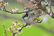 Cape May warbler (Dendroica tigrina) on Nanking Cherry shrub in flower<br />Winnipeg<br />Manitoba<br />Canada