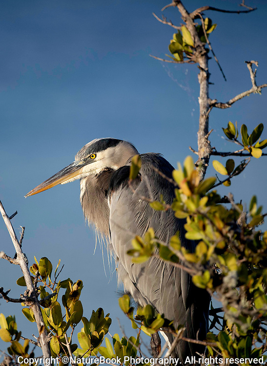 Blue Heron perched in a mangrove, enjoying the late afternoon sun.