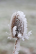 Winter scene hoar frost on teasel seed head in The Cotswolds, UK