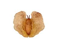 Silver Birch seed - Betula pendula
