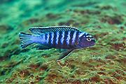 Pseudotropheus elongatus, a common mbuna or rock-dwelling cichlid found on rocky reefs around Likoma Island, Lake Malawi, Malawi, Africa.