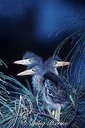 green heron chicks, Butorides virescens, on branch <br /> next to nest North Miami Beach, Florida, USA, North America