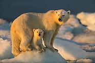 2015 - POLAR BEARS