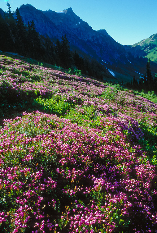 Mount Fromme and pink heather, July, Olympic Natinal Park, Washington, USA