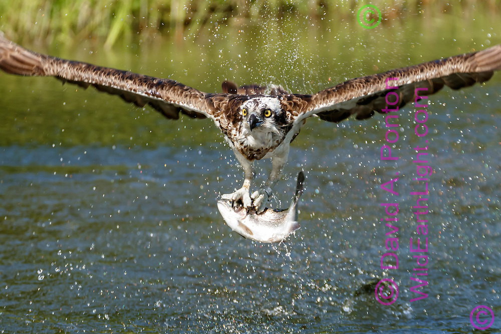 Osprey flies up from pond after capturing a fish,with a research band visible on its leg, © David A. Ponton