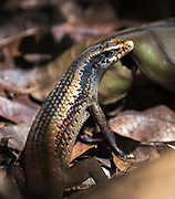 Skink (Cryptoblepharus sp.) from Tangkoko National Park, northern Sulawesi, Indonesia.
