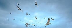Seagulls flying over the harbour in Essaouira, Morocco<br /> <br /> (c) Andrew Wilson | Edinburgh Elite media