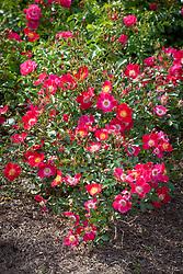 Rosa 'Hampshire'